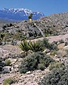 Yucca schidigera fh 1183.31 NV BB.jpg