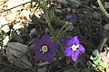 Zakynthos flora (w. of Vol) (35900300575).jpg