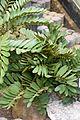 Zamia furfuracea in Tropengewächshäuser des Botanischen Gartens 01.jpg