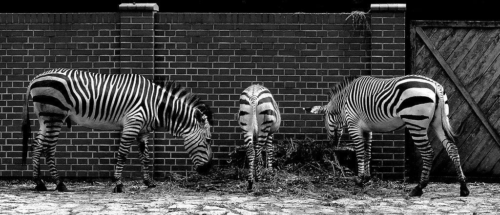 Zèbres au zoo de Wroclaw - Photo de Piotr Frydecki