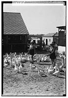 Zionist colonies on Sharon. Borochov. Girls' farm, feeding poultry LOC matpc.00202.jpg