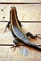 Zonosaurus Laticaudatus Kirindy Madagascar.jpg