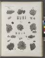 Zoologie. Polypes. Flustres (NYPL b14212718-1268623).tiff