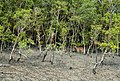 """Chital"" deer in Mangrove of Sundarban.jpg"