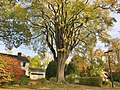 """Grayson Elm"" - American Elm Tree in Amherst, MA (October 2020).jpg"
