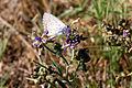 """"""" 12 - 07 ITALY - Parco Delta del Po' - farfalla su fiori - butterfly on flowers.jpg"""