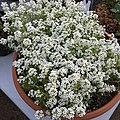 'Giga White' alyssum IMG 5051.jpg