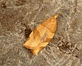 (0970) Barred Fruit-tree Tortrix Pandemis cerasana (7501344520).jpg