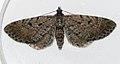 (1827) Freyer's Pug (Eupithecia intricata) (4746335535).jpg