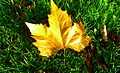 (2012) Autumn leaf in sunshine.jpg