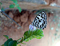 (Castalius rosimon) Common pierrot at Mudasarlova 01.JPG