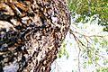 Árvore Centenária.JPG