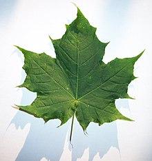 Foglia wikipedia - Foglia canadese contorno foglia canadese ...