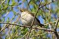 Śpiewający ptak nad Wisłą w Piekarach pod Krakowem, 20210504 0801 6482.jpg