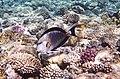 Аравийская рыба-хирург. Acanthurus sohal..DSCF8192OB.jpg