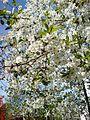 Весна в Самборі - panoramio.jpg