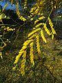 Гледичия - есенна окраска.jpg