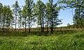 Дерева вільхи в заказнику Сукачове.jpg