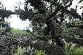 Лишайник на віттях кримських дерев.jpg