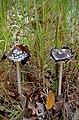 Навозник смолистый - Coprinopsis picacea - Magpie fungus - Копринка C. picaceus - Specht-Tintling (22301208304).jpg