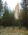 Одинокая березка во бору желтеет... - panoramio.jpg