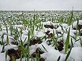 Озимые под первым снегом.jpg