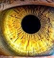 Радужка глаза( автопортрет).jpg