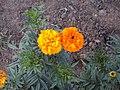 Цветочки в огороде18.jpg