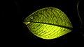 زوایای برگ گیاه فردوس 01.jpg