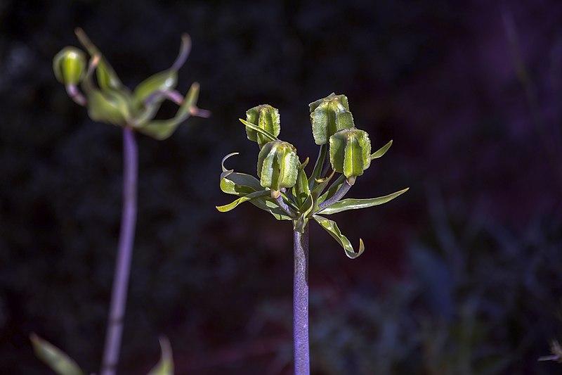 File:گلها و گیاهان دارویی، روستای خفر پادنا در ایران 07.jpg