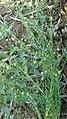 जवस किंवा अळशी पिकाची बोंड Pods of Flax (Linum usitatissimum).jpg