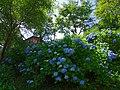 七曲りのあじさい 吉野山にて 2013.6.17 - panoramio.jpg