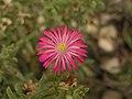 仙寶屬 Trichodiadema barbatum -泰國清邁花展 Royal Flora Ratchaphruek, Thailand- (9207602806).jpg