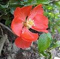 傲大貼梗海棠 Chaenomeles superba 'Knap Hill Scarlet' -上海辰山植物園 Shanghai Chenshan Botanical Garden- (17081473517).jpg
