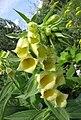 大花毛地黃 Digitalis grandiflora -維也納高山植物園 Belvedere Alpine Garden, Vienna- (28506090073).jpg