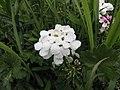 屈曲花 Iberis sempervirens Snowflake -巴黎植物園 Jardin des Plantes, Paris- (9229879904).jpg