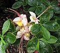 杜鵑花屬 Rhododendron calendulaceum -維也納大學植物園 Vienna University Botanical Garden- (29047130095).jpg