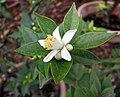 柑橘屬 Citrus myrtifolia -波蘭 Krakow Jagiellonian University Botanic Garden, Poland- (36685195965).jpg