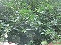柿子树.jpg