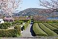 桜と茶畑の小道(静岡県雁公園付近) - panoramio.jpg