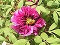 牡丹-茄藍丹紗 Paeonia suffruticosa 'Blue & Red Veil' -洛陽西苑公園 Luoyang, China- (12516909535).jpg