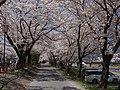 相川 桜並木.jpg
