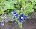 石蠶葉婆婆納 Veronica chamaedrys -比利時 Leuven Botanical Garden, Belgium- (9200929468).jpg