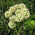絨毛蓼屬 Eriogonum compositum -維也納高山植物園 Belvedere Alpine Garden, Vienna- (29185886031).jpg