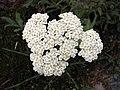 耆屬 Achillea crithmifolia -哥本哈根大學植物園 Copenhagen University Botanical Garden- (36744794312).jpg
