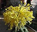 菊花-國香皇后 Chrysanthemum morifolium 'Beautiful Queen' -香港圓玄學院 Hong Kong Yuen Yuen Institute- (11961172585).jpg