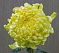 菊花-金獅頭 Chrysanthemum morifolium 'Golden Lion Head' -香港房委樂富花展 Lok Fu Flower Show, Hong Kong- (12085267423).jpg