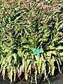萵苣-紅菜心 Lactuca sativa 20201127142610 01.jpg