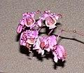 萼脊蘭屬 Myrmecophila grandiflora -香港沙田洋蘭展 Shatin Orchid Show, Hong Kong- (16121910683).jpg