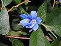 藍花吊鐘藤 Sollya heterophylla -阿姆斯特丹植物園 Hortus Botanicus, Amsterdam- (9198166019).jpg